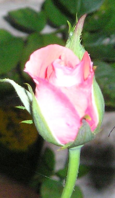 Rosebud for New Mother