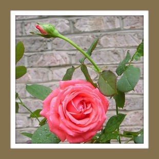 Coral colored rose against a brick wall